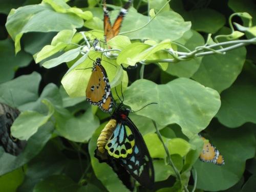 farfallae