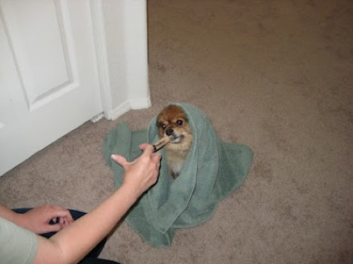 pomeranian dog covered in a towel being fed from a syringe