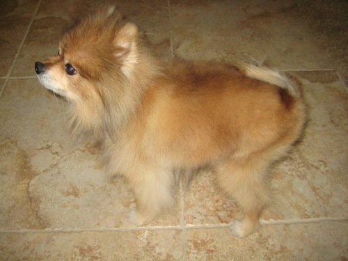 pomeranian growing hair back