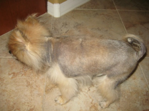 pomeranian dog growing stubble of hair