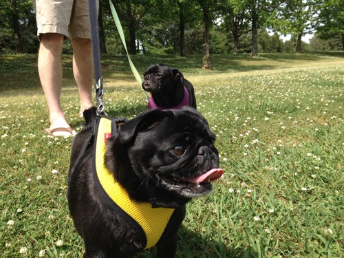 Two black pugs on leashes in the grass
